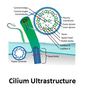 http://curezone.com/upload/_C_Forums/Candida/cilium_ultrastructure.png