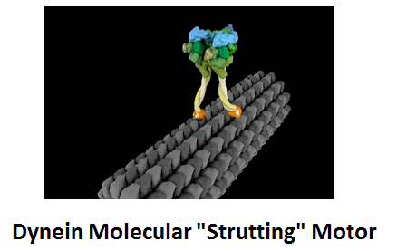 http://curezone.com/upload/_C_Forums/Candida/dynein_molecular_motor.png
