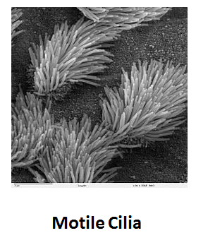 https://www.curezone.org/upload/_C_Forums/Candida/motile_cilia.png
