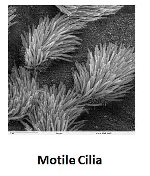 http://curezone.com/upload/_C_Forums/Candida/motile_cilia.png