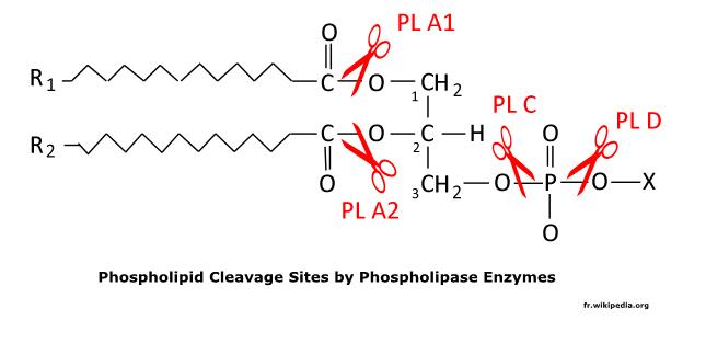 http://curezone.com/upload/_C_Forums/Candida/phospholipase_enzymes.png