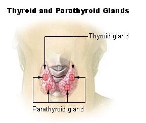 http://curezone.com/upload/_C_Forums/Candida/thyroid_gland.jpg