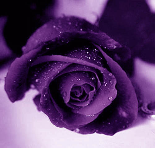Purple Rose 02