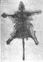 1910 leopon cub