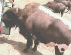 Bison bull x Beefalo cow