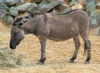 Zeebra Donkey hybrid