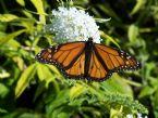 spuds monarch
