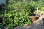 Corey's tomato and cucumber plants