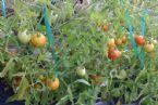 earthboxtomatoes