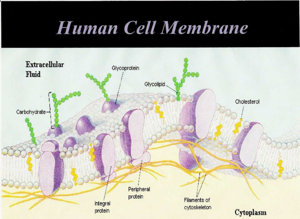 the cell membrane History: up until now you knew that the function of the cell membrane was to separate the inside of the cell from its outside in some pictures you have seen, the cell membrane may have looked like this.