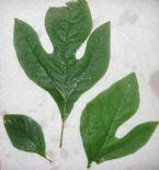 Sass leaves