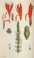 female horsetail or mare s tail