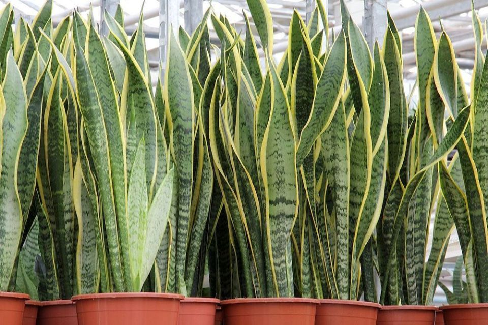 http://curezone.com/upload/_G_H_Forums/Home/Potted_Sansevieria_trifasciata_Laurentii_jpg_1000x0_q80_crop_smart.jpg