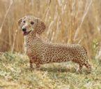 African wiener dog 256