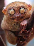 2 philippine tarsier upclose