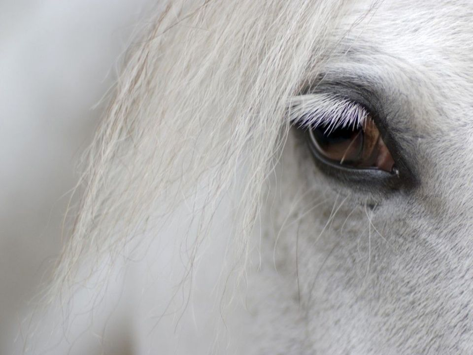detail of white horse head with long eye lashes ... (Click to enlarge)