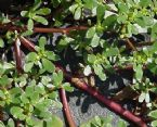 Purslane - Portulaca oleracea 01