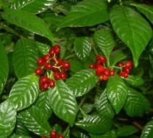 Wild Coffee Plant 300x270