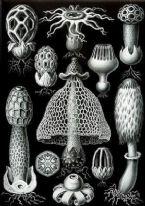 carbonchiovegetali Haeckel Basimycetes