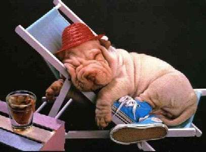 8682 Shar pei relaxed ... (Click to enlarge)