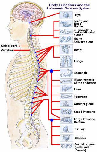 spine nervous system