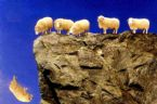 sheep off cliff