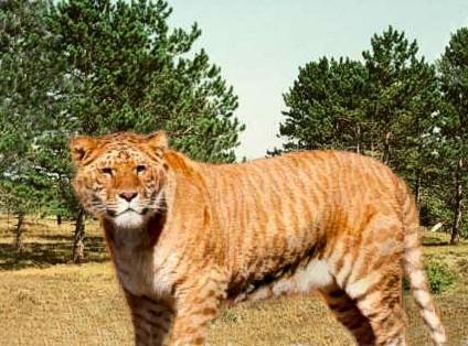 Liger Lion Tiger Hybrid ... (Click to enlarge)