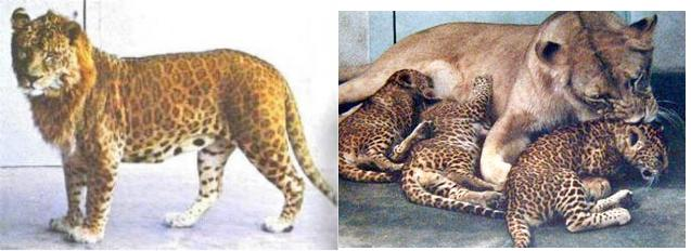 leopon Lion Panther Hybrid 2 ... (Click to enlarge)