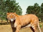 Liger Lion Tiger Hybrid ... (Click to enlarge)