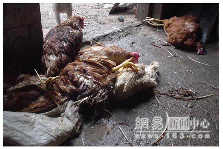 http://curezone.com/upload/blogs/animal_cruilty/Chicken_in_China7.jpg