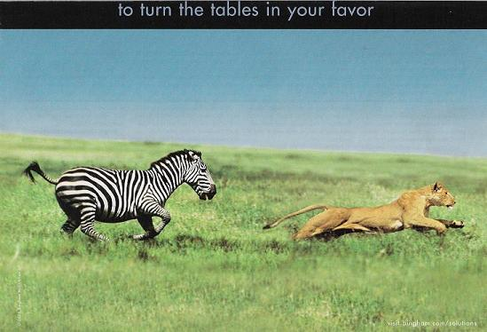 Zerba chases lion HUHxx ... (Click to enlarge)