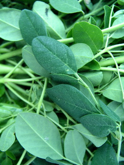 http://curezone.com/upload/blogs/your_enchanted_gardener/Moringa_leaves317_400.jpg