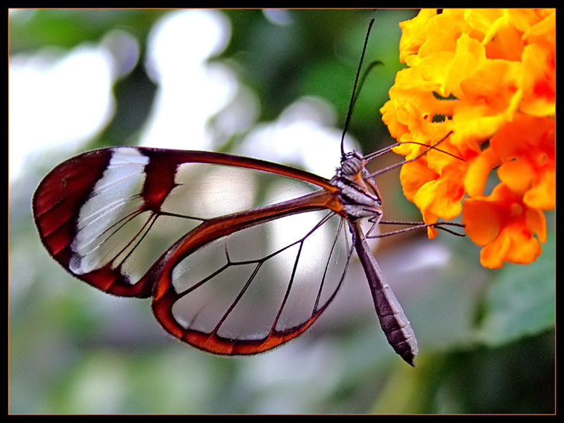 transparent butterfly2 0