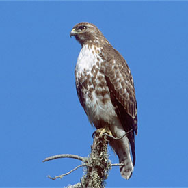 http://curezone.com/upload/members/new01/Juvenileredtailedhawk.jpg