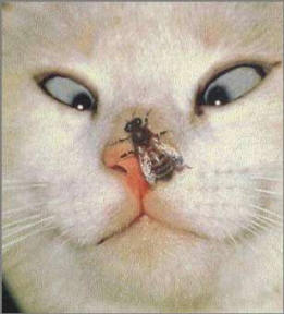 CatWithBeeOnNose ... (Click to enlarge)