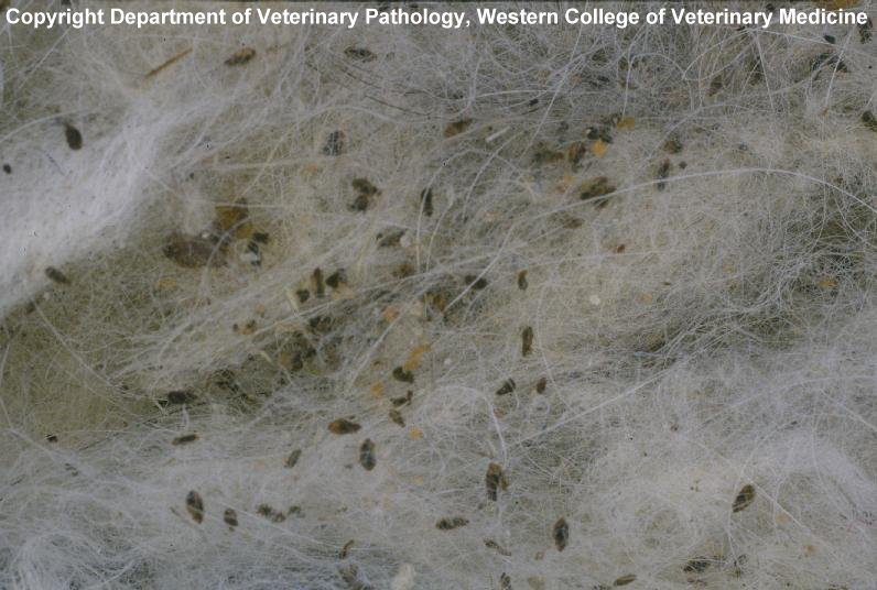 Lice in the fur of an Arctic fox ... (Click to enlarge)