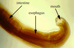 ascaris_lumbricoides ... (Click to enlarge)