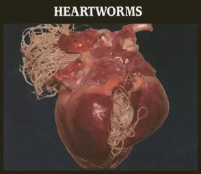 Heartworms: Photo Showing Heart infected with heartworms