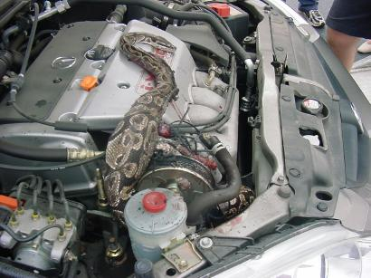 rattle snake inside car engine
