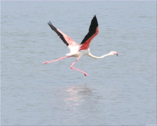 flying flamingoes ii by - photo #27